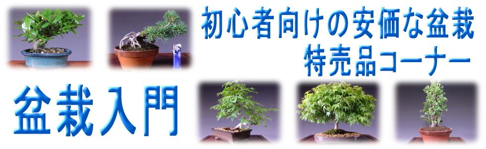格安盆栽の販売(特売品盆栽)
