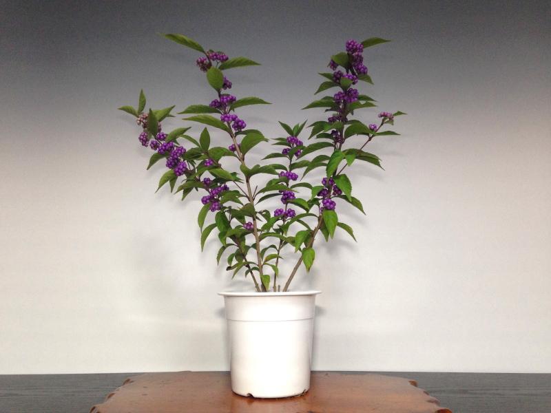 紫式部 盆栽 販売