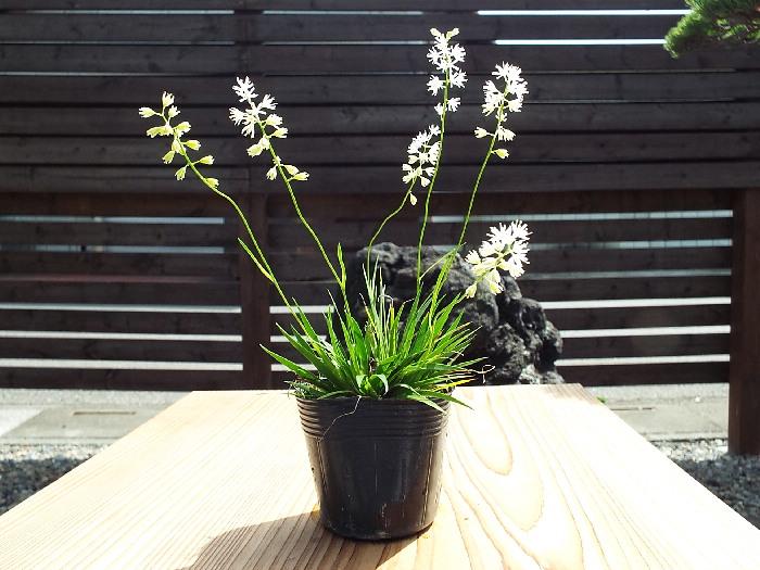 花セキショウ/花石菖 山野草                                    [1538]